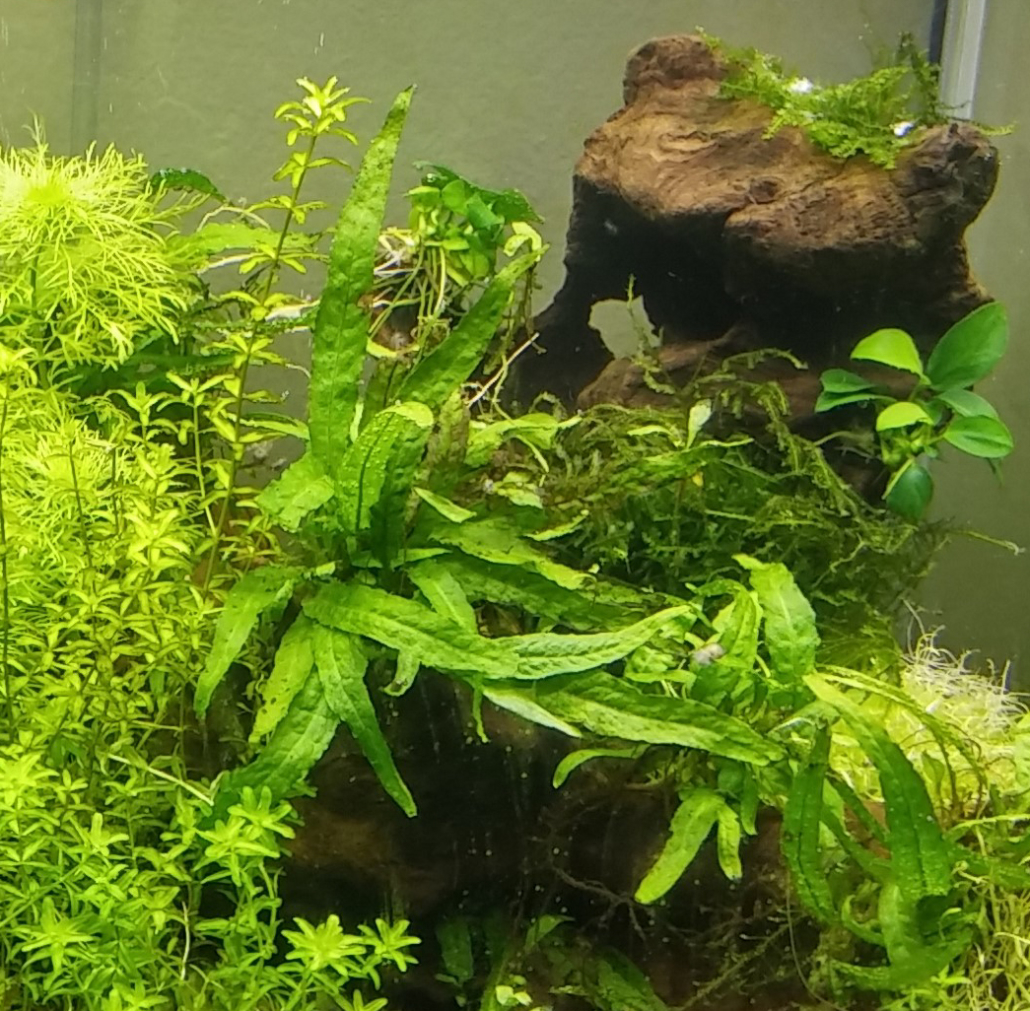 Plantes epiphytes Microsorium pteropus, Anubias nana et mousse de Java