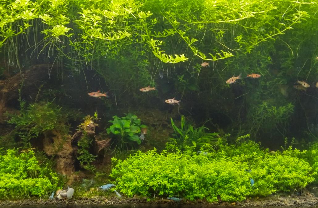 Plantes d'arrière-plan Hemianthus glomeratus