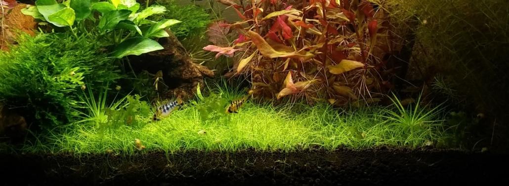 Plantes de premier plan Eleocharis acicularis 'Mini' et Apistogramma baenshi