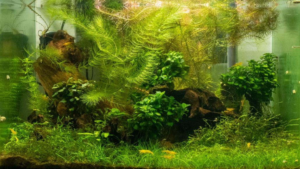 Plantes epiphytes Anubias barteri var.nana