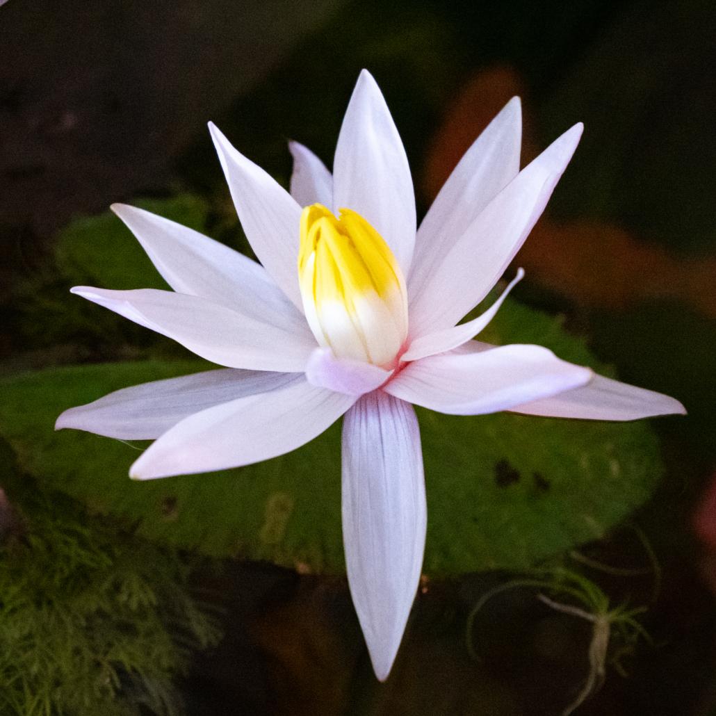 Fleur de Nymphaea Lotus Zenkeri