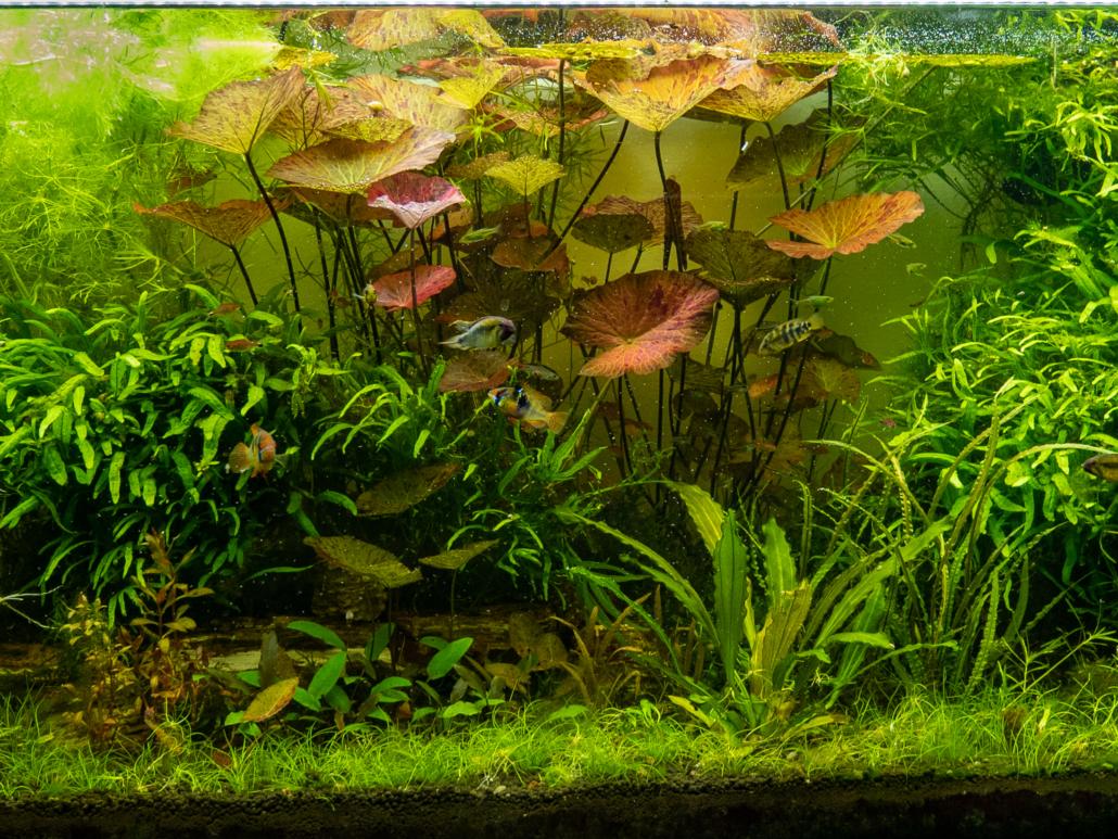 Nymphaea Lotus Zenkeri, Microsorum pteropus trident