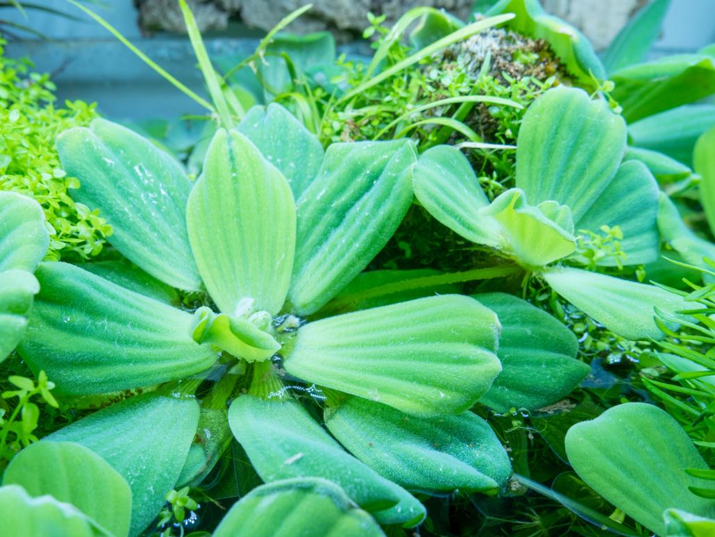 Plante flottante Pistia straitote