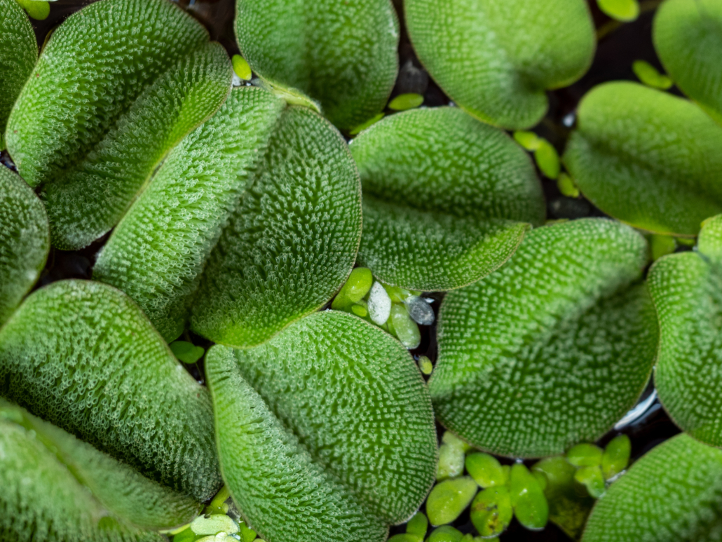 Plantes flottantes Salvinia natans