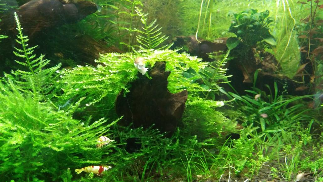 Mousse Vesicularia dubyana Christmas